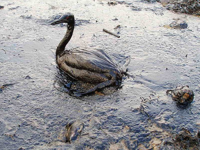 Seabird covered in oil, Black Sea [Marine Photobank]