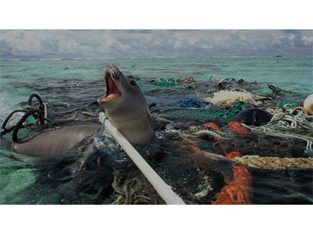 Sealion trapped in plastic pollution. Waste plastic is a serious problem everywhere [Nels Israelson]